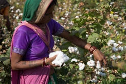 Image of woman in colorful sari picking cotton